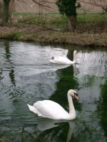 Swans on the River Alre